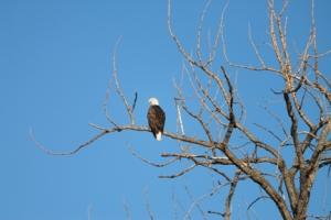 bald eagle - Copy