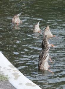 duck bums - Copy