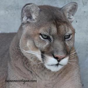 zoo mtn lion nice 2